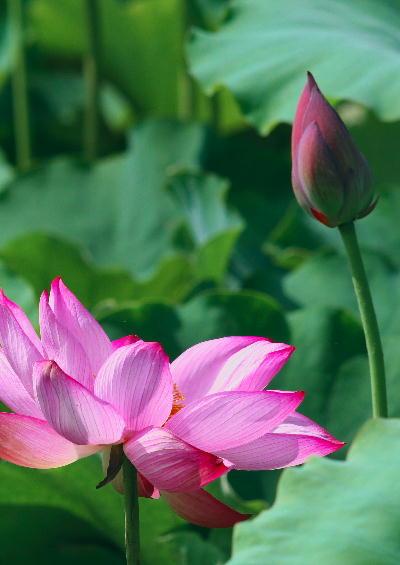ピンクの蓮.jpg