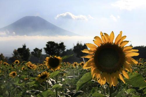 IMG_1198.jpg 富士山と向日葵-198_-222edited-1.jpg