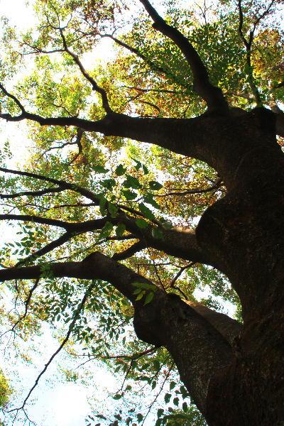 IMG_2917.jpg 上野公園の大木-917.-222jpg.jpg