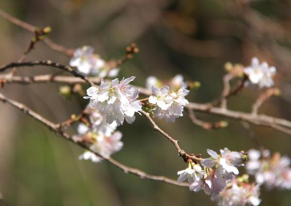 IMG_3620.jpg お会式桜-3333.jpg