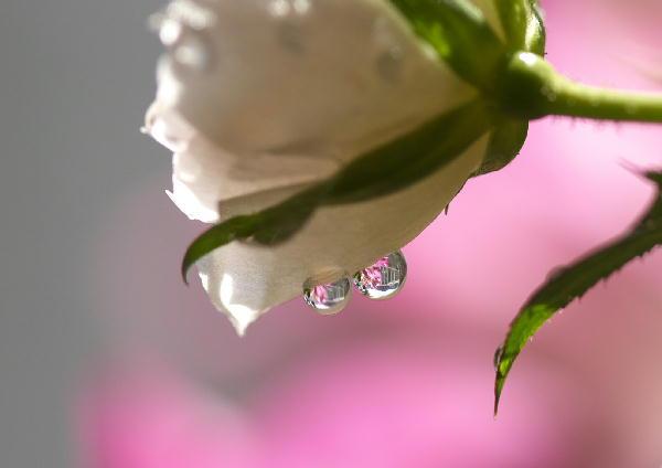 IMG_3715.jpg 水滴のミニバラ-715.-5555jpg.jpg