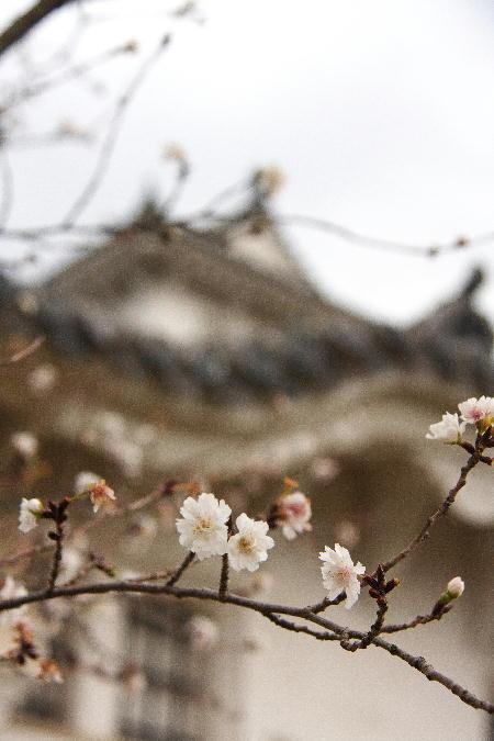 IMG_4411.jpg 城と寒桜-411-4444.jpg