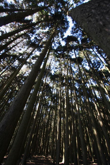 IMG_5695.jpg 瑚岸の杉林-3333jpg.jpg