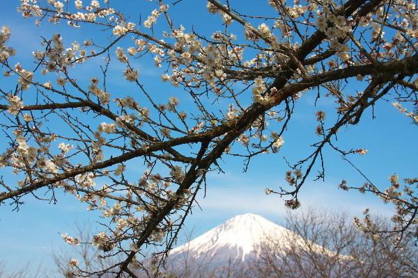 IMG_5818.jpg 興徳寺の境内白梅と富士山-3333.jpg