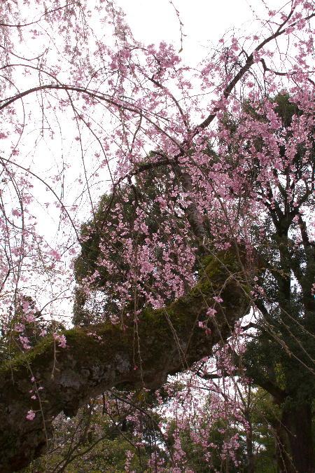 IMG_0410.jpg 身延の桜-410-3333.jpg