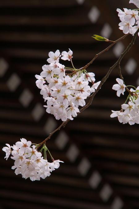 IMG_0440.jpg 身延の桜-440-3333.jpg