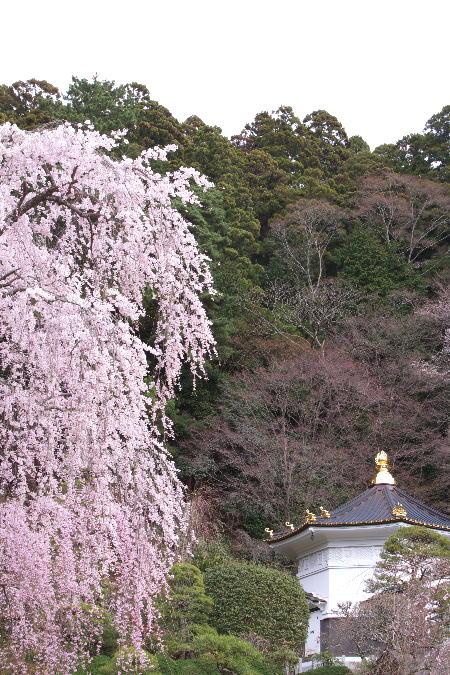 IMG_0421.jpg 身延の桜-421-3333.jpg