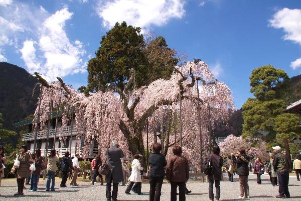 IMG_0474.jpg 身延の桜-474-3333.jpg