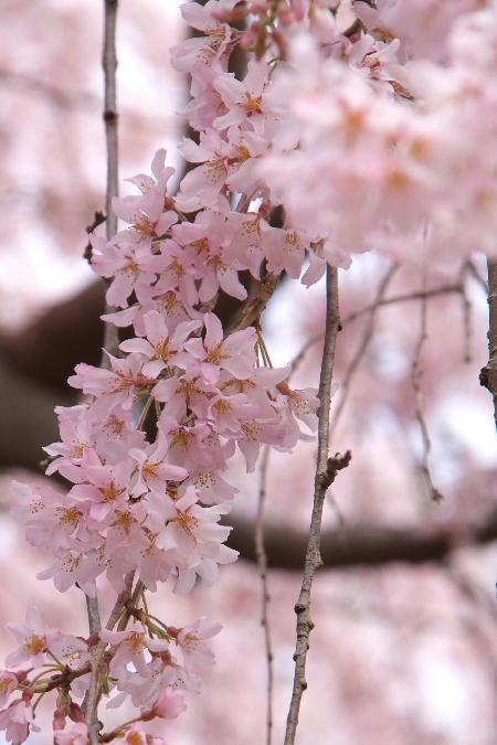 IMG_0481.jpg 身延の桜-481-3333.jpg