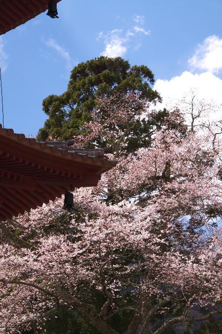IMG_0508.jpg 身延の桜-508-3333.jpg