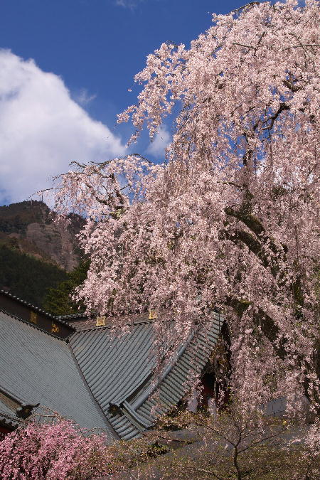 IMG_0497.jpg 身延の桜-497-3333.jpg