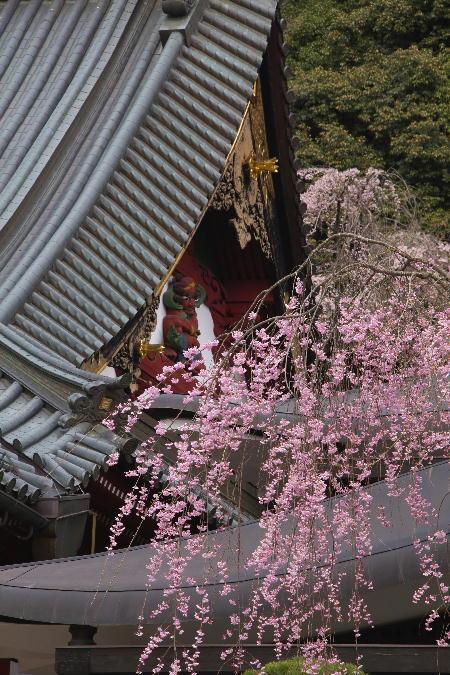 IMG_0500.jpg 身延の桜-500-3333.jpg