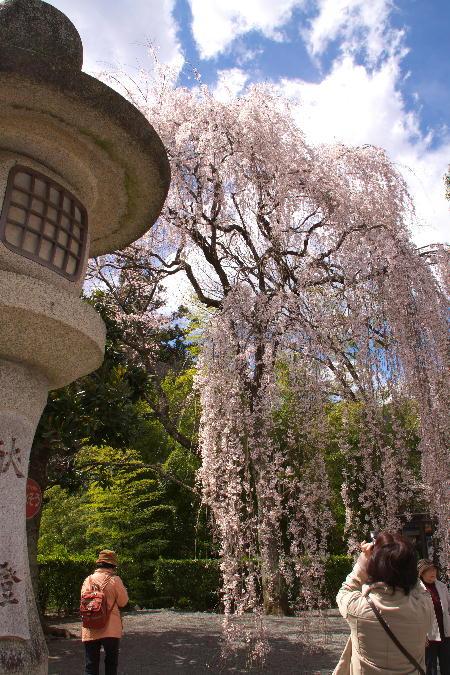 IMG_0489.jpg 身延の桜-489-3333.jpg