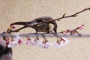 IMG_0638.jpg 隣の桜に鳥-2.jpg