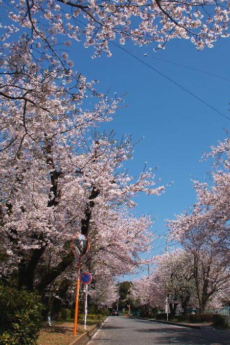 IMG_0929.jpg 遺伝研桜の並木-929-3333.jpg
