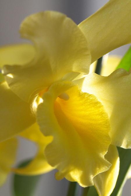 IMG_1102.jpg 黄色の蘭-102-3333.jpg