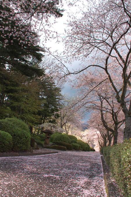 IMG_1240.jpg 散り桜-240-3333.jpg