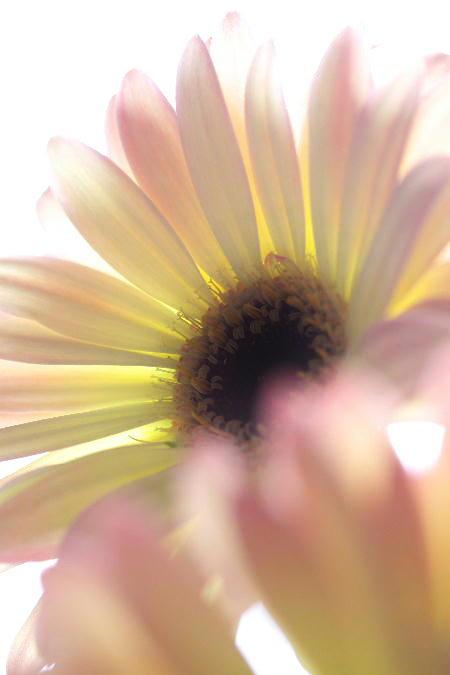 IMG_1285.jpg  ガーベラ・モネ-285.jpg
