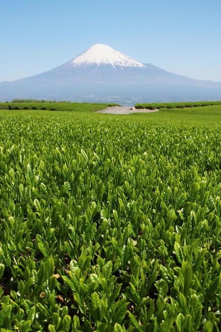 IMG_1485.jpg お茶畑-485-3333.jpg