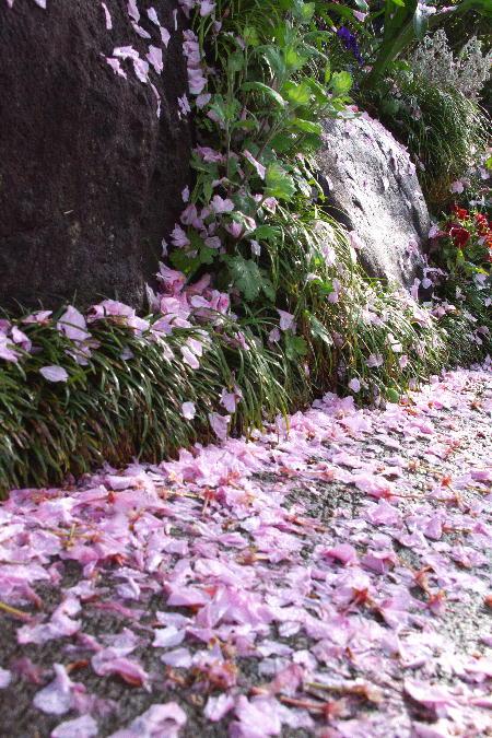 IMG_1687.jpg 散り桜-687-3333.jpg