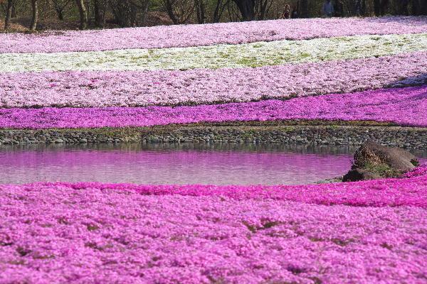 IMG_1827.jpg 芝桜-827-3333.jpg