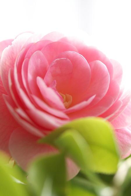 IMG_1458.jpg ピンクの椿-458.-3333jpg.jpg