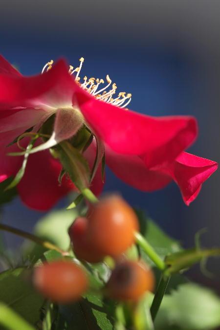 IMG_2297.jpg 薔薇の実-297-3333.jpg