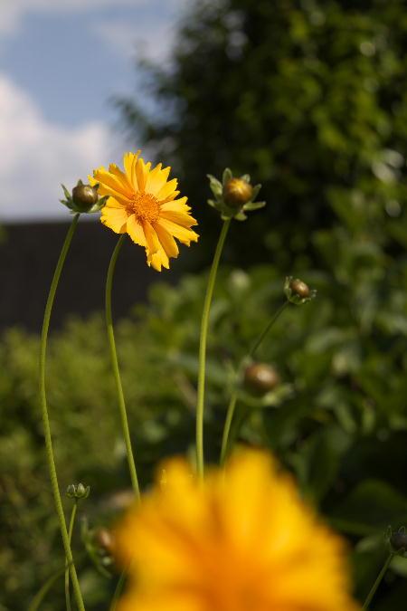 IMG_2252.jpg 黄色の花-252-3333.jpg