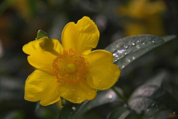 IMG_2788.jpg 黄色の花-788-3333.jpg