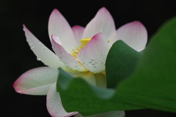 IMG_3431.jpg 蓮の花-431-3333.jpg