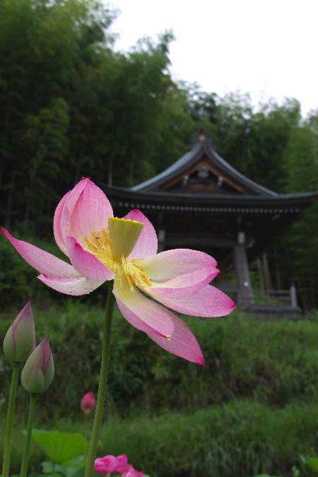 IMG_3454.jpg 蓮の花-454-3333.jpg