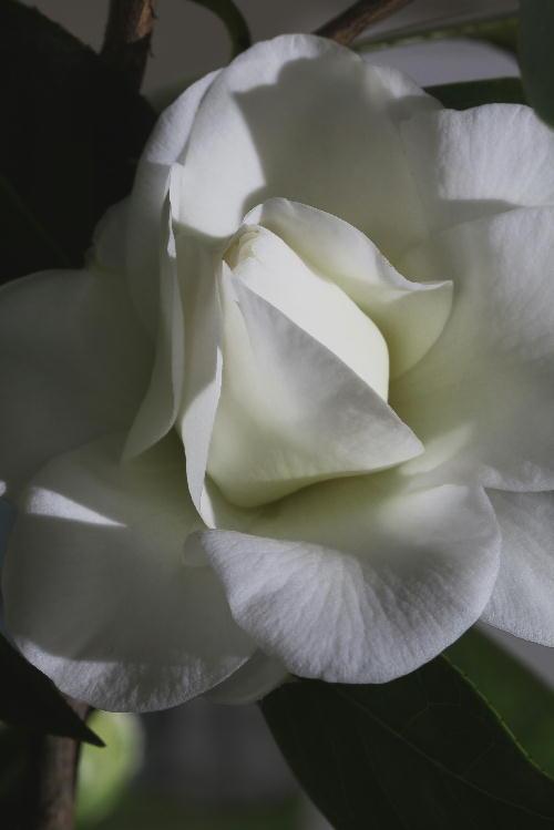 白い椿.jpg