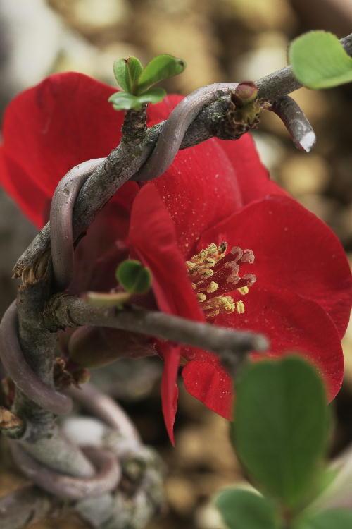 盆栽のボケ赤-2.jpg