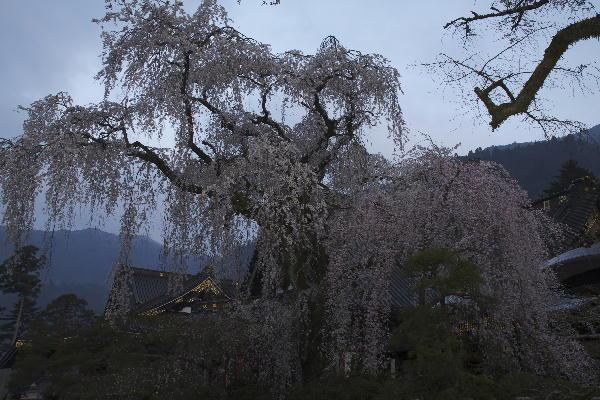 身延朝の桜-2 29-5.45.jpg