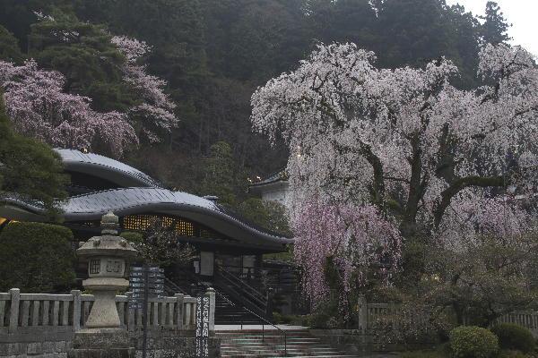 身延朝の桜-3 29-6.28.jpg