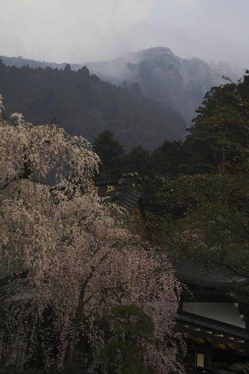 身延朝の桜-5 29-6.56.jpg