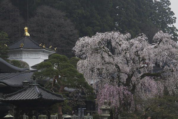 身延朝の桜-629-7.18.jpg