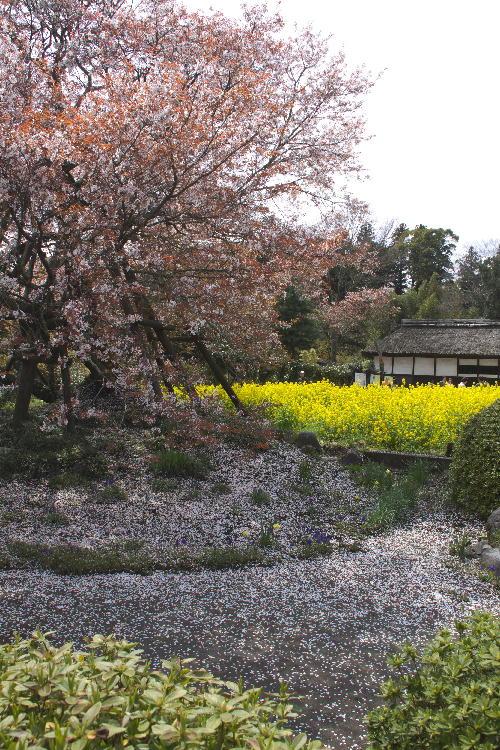 狩宿の下馬桜.jpg