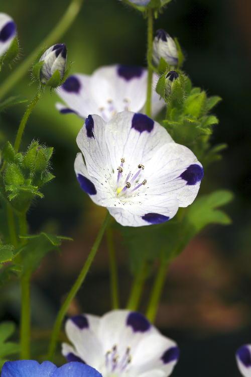 斑入りの花-2.jpg