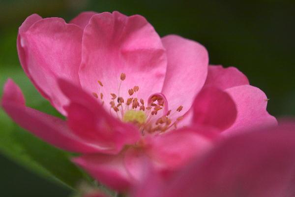 薔薇-1.jpg
