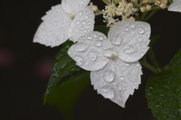 額紫陽花.jpg