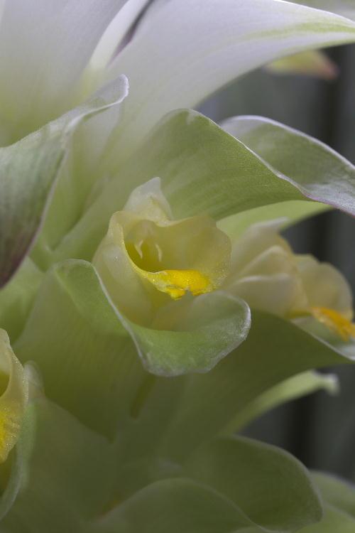 ウコンの花-1.jpg