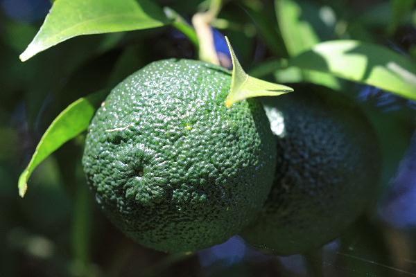 柚-1.jpg