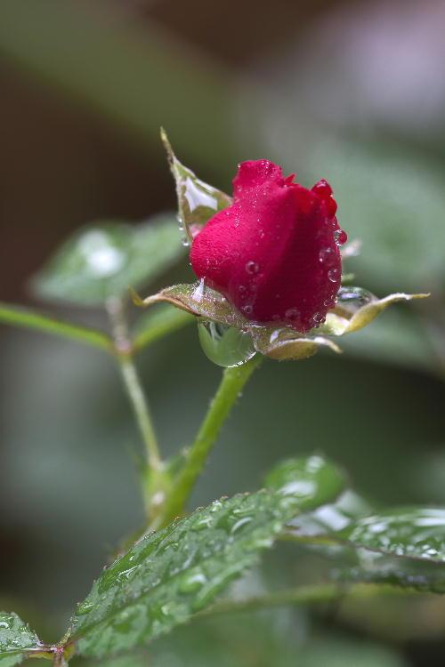 薔薇の雫.jpg