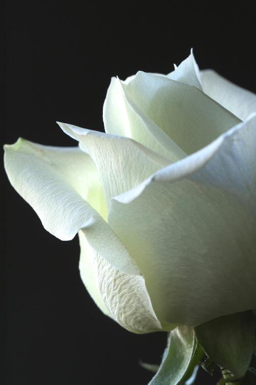 白薔薇-1.jpg
