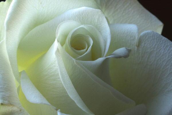 白薔薇-2.jpg