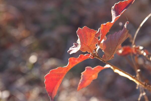赤い葉.jpg