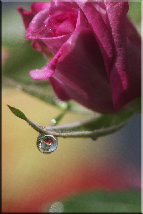 雨上がりのミニバラ.jpg