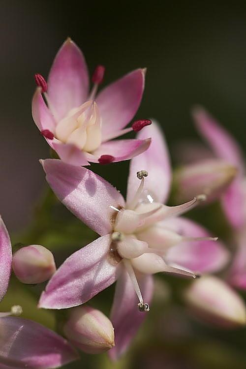 銭のなる木の花.JPG