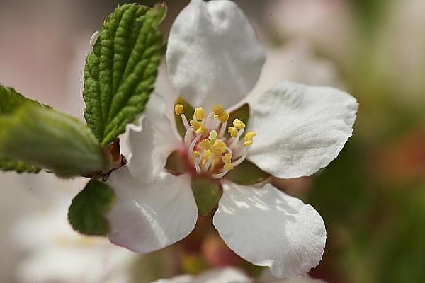 ユスラ梅の花.JPG
